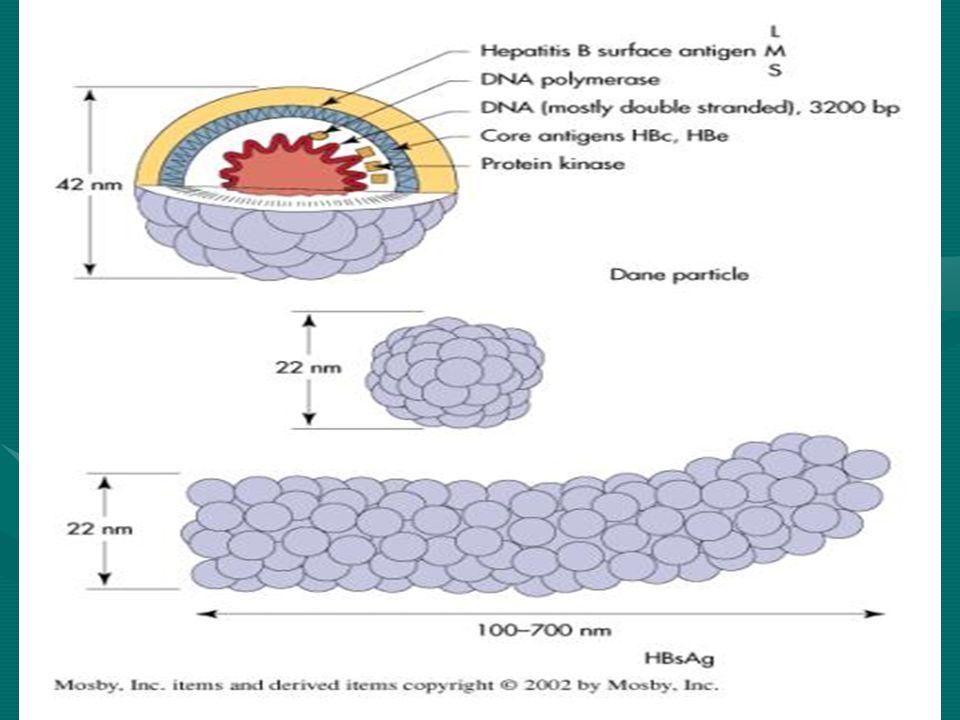 REPLICACIÓN El VHB tiene un tropismo por el hígado muy definido.