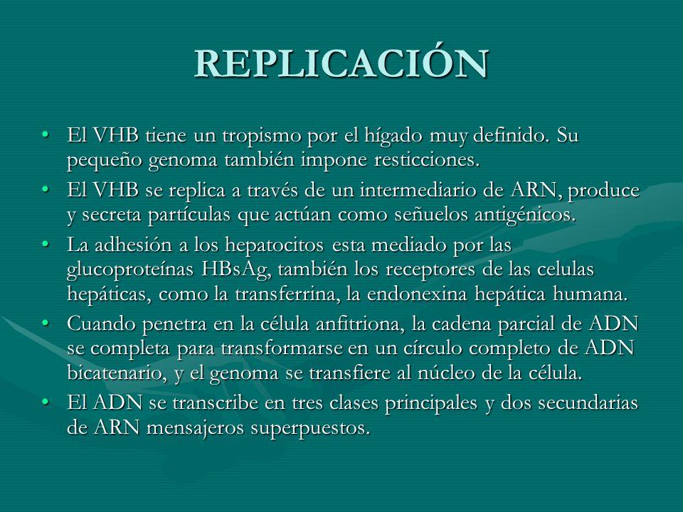 REPLICACIÓN El VHB tiene un tropismo por el hígado muy definido. Su pequeño genoma también impone resticciones.El VHB tiene un tropismo por el hígado
