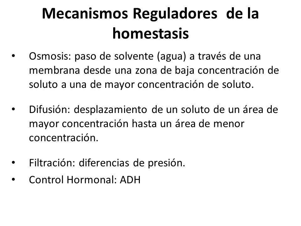 Mecanismos Reguladores de la homestasis Osmosis: paso de solvente (agua) a través de una membrana desde una zona de baja concentración de soluto a una