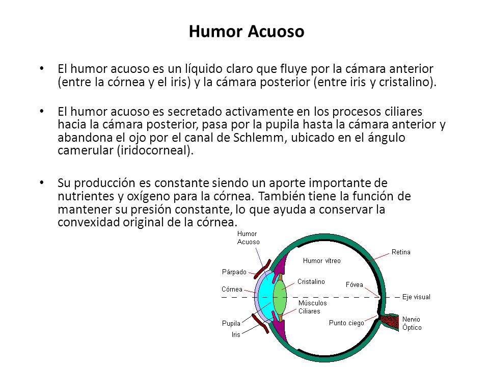 Humor Acuoso El humor acuoso es un líquido claro que fluye por la cámara anterior (entre la córnea y el iris) y la cámara posterior (entre iris y cris