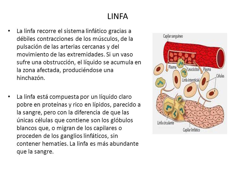 LINFA La linfa recorre el sistema linfático gracias a débiles contracciones de los músculos, de la pulsación de las arterias cercanas y del movimiento