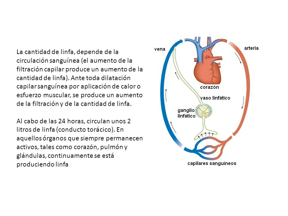 La cantidad de linfa, depende de la circulación sanguínea (el aumento de la filtración capilar produce un aumento de la cantidad de linfa). Ante toda