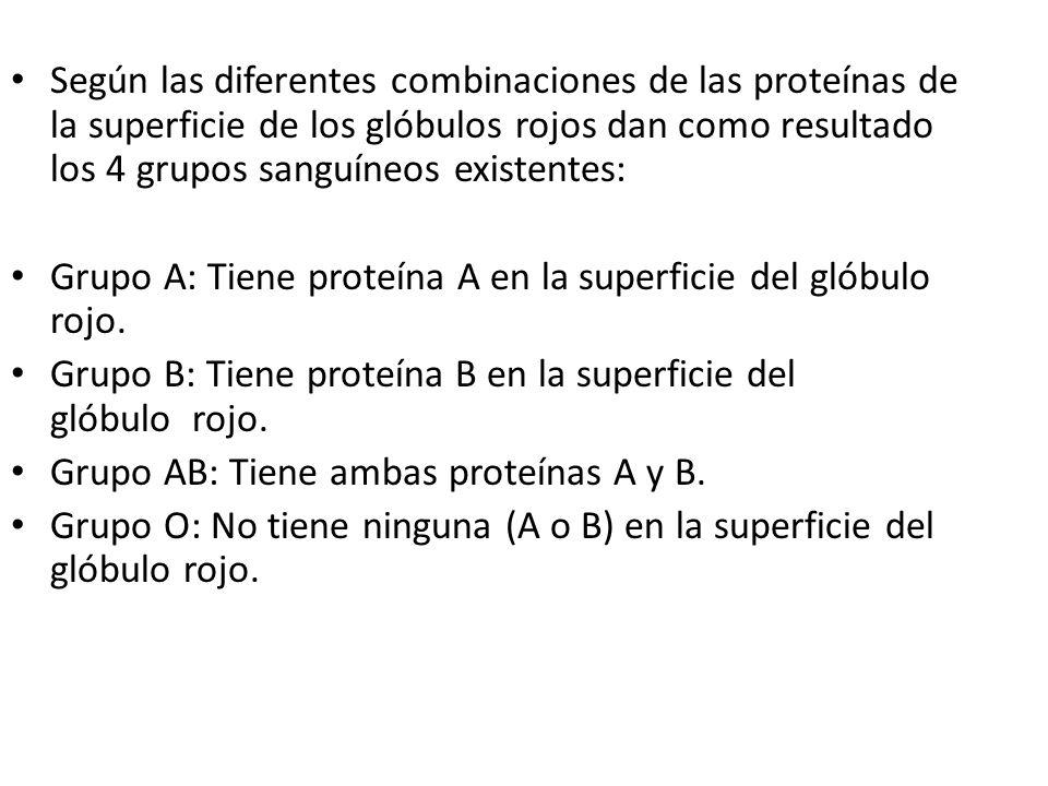 Según las diferentes combinaciones de las proteínas de la superficie de los glóbulos rojos dan como resultado los 4 grupos sanguíneos existentes: Grup