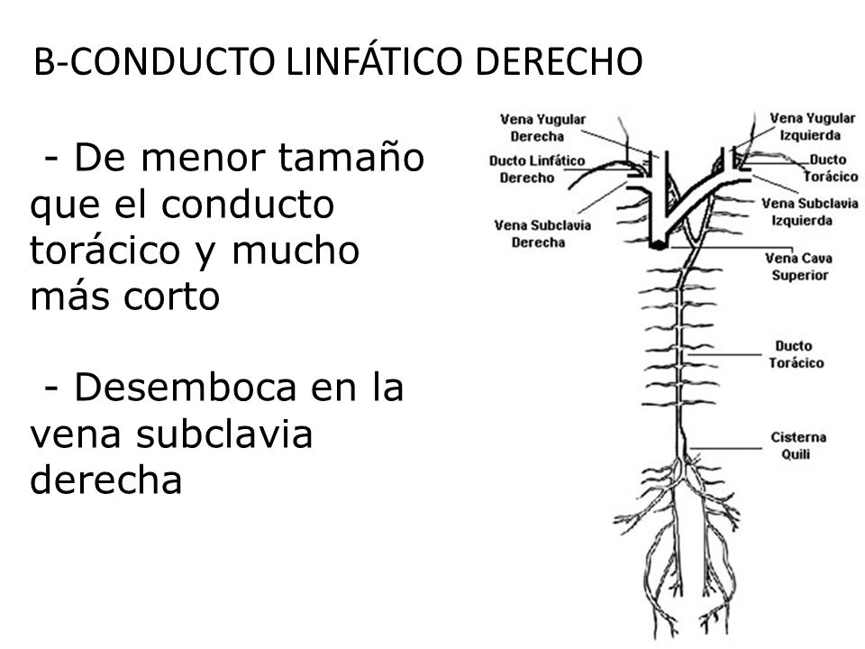 B-CONDUCTO LINFÁTICO DERECHO - De menor tamaño que el conducto torácico y mucho más corto - Desemboca en la vena subclavia derecha