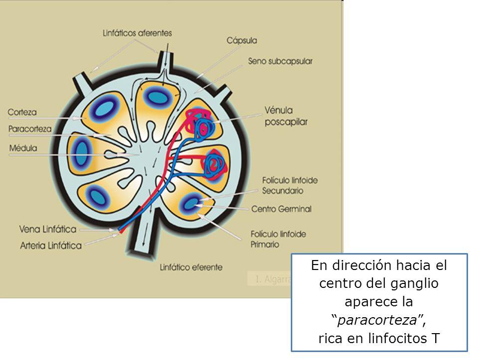 En dirección hacia el centro del ganglio aparece laparacorteza, rica en linfocitos T