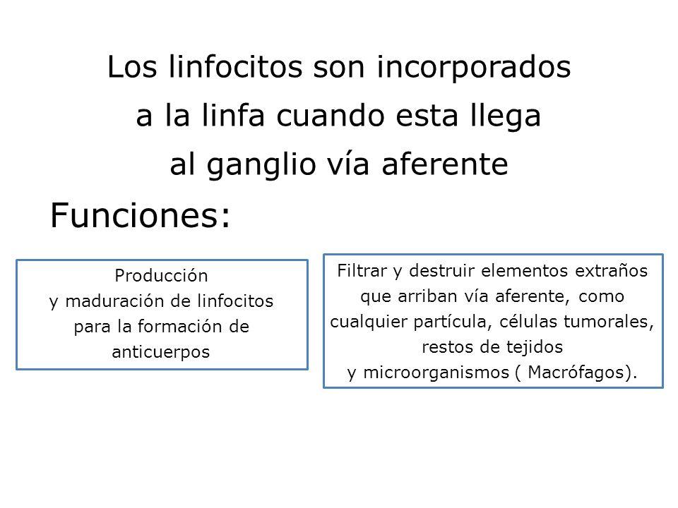 Los linfocitos son incorporados a la linfa cuando esta llega al ganglio vía aferente Funciones: Producción y maduración de linfocitos para la formació