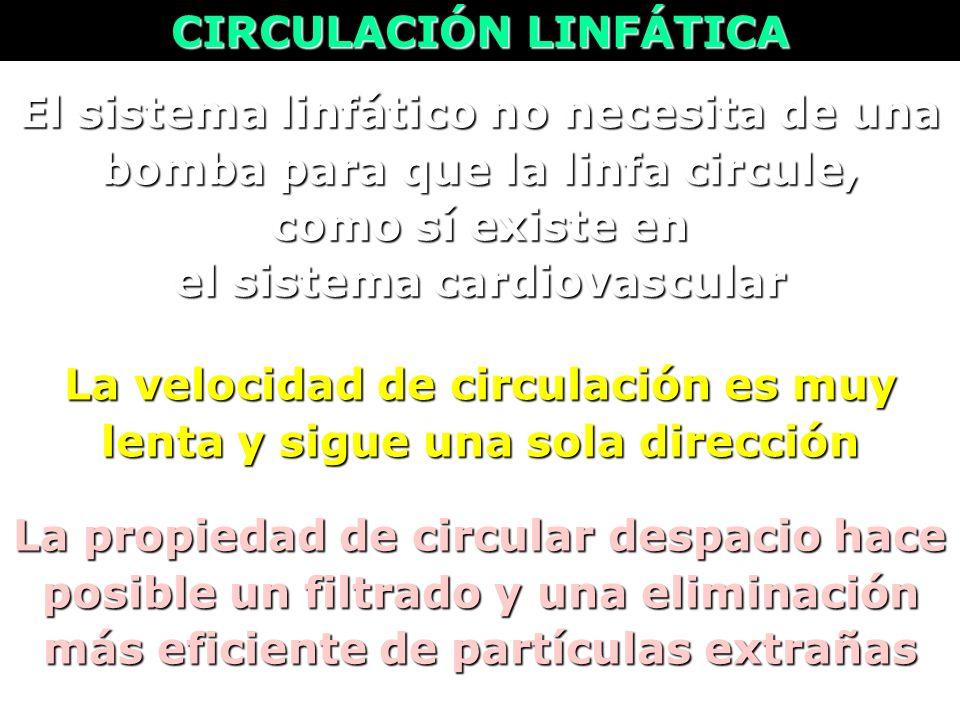 La velocidad de circulación es muy lenta y sigue una sola dirección El sistema linfático no necesita de una bomba para que la linfa circule, como sí e