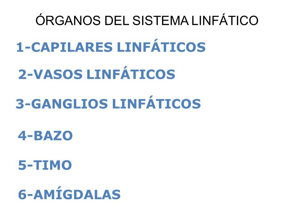1-CAPILARES LINFÁTICOS 2-VASOS LINFÁTICOS 3-GANGLIOS LINFÁTICOS 4-BAZO 5-TIMO 6-AMÍGDALAS ÓRGANOS DEL SISTEMA LINFÁTICO