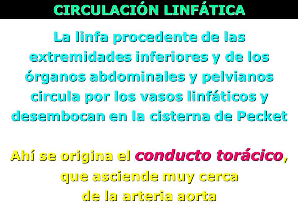 La linfa procedente de las extremidades inferiores y de los órganos abdominales y pelvianos circula por los vasos linfáticos y desembocan en la cister