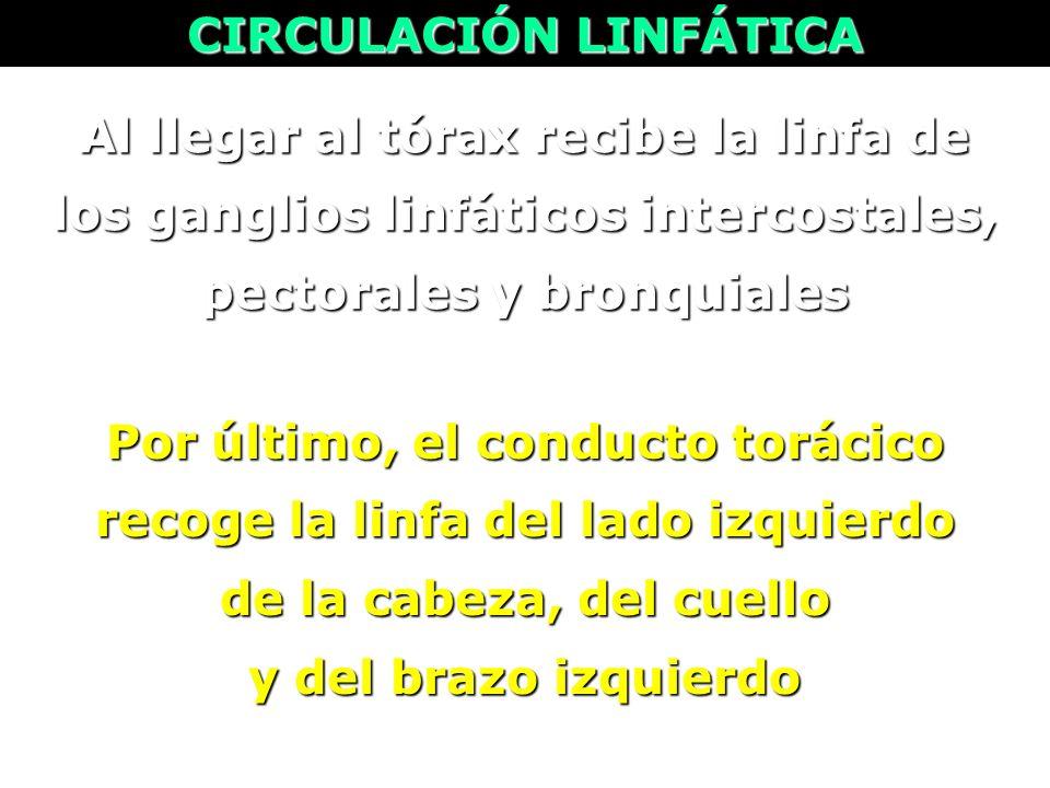 Al llegar al tórax recibe la linfa de los ganglios linfáticos intercostales, pectorales y bronquiales CIRCULACIÓN LINFÁTICA Por último, el conducto to