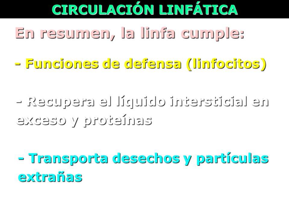 En resumen, la linfa cumple : CIRCULACIÓN LINFÁTICA - Funciones de defensa (linfocitos) - Recupera el líquido intersticial en exceso y proteínas - Tra