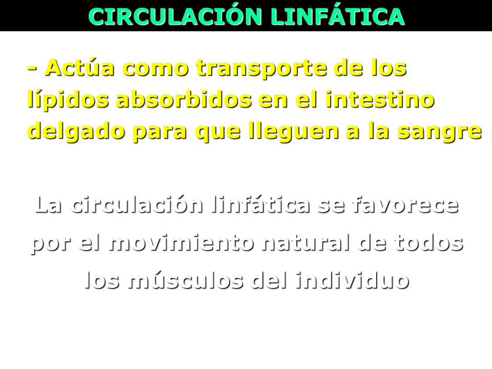 La circulación linfática se favorece por el movimiento natural de todos los músculos del individuo - Actúa como transporte de los lípidos absorbidos e