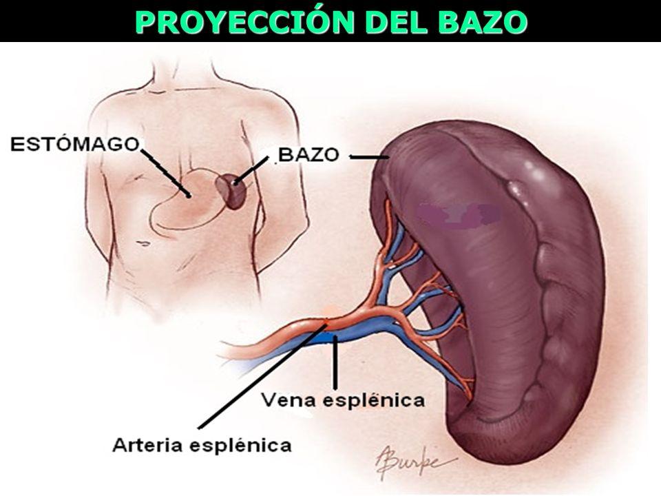 PROYECCIÓN DEL BAZO