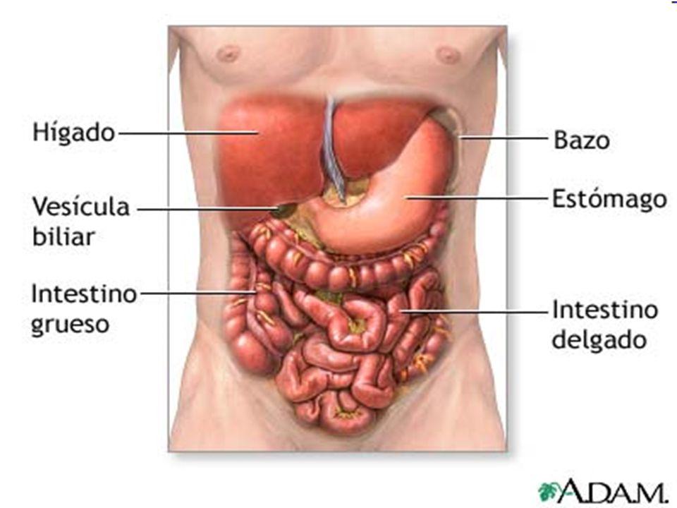 T I M O Es una pequeña glándula linfática formada por dos lóbulos Ocupa el espacio mediastínico, entre el corazón y el hueso del esternón El desarrollo del timo se inicia en la etapa fetal hasta la pubertad, y luego comienza a involucionar para atrofiarse en la edad adulta