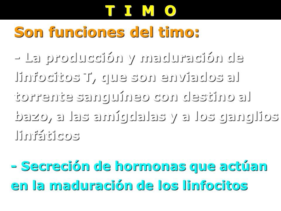 T I M O - La producción y maduración de linfocitos T, que son enviados al torrente sanguíneo con destino al bazo, a las amígdalas y a los ganglios lin