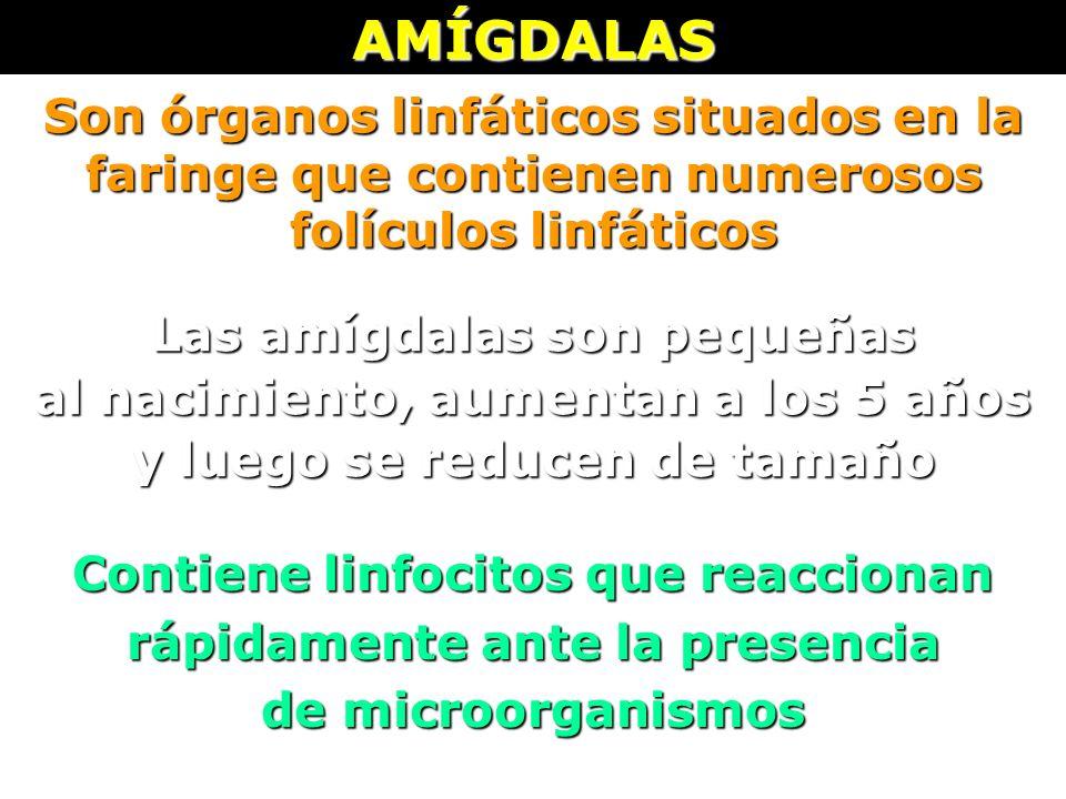 AMÍGDALAS Son órganos linfáticos situados en la faringe que contienen numerosos folículos linfáticos Las amígdalas son pequeñas al nacimiento, aumenta