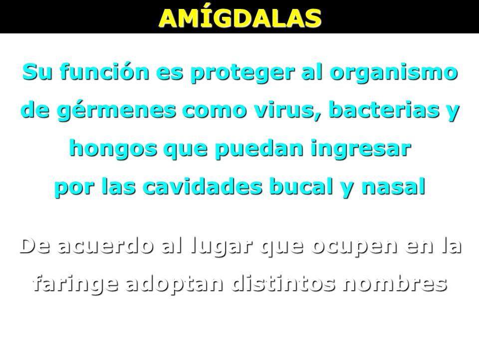AMÍGDALAS Su función es proteger al organismo de gérmenes como virus, bacterias y hongos que puedan ingresar por las cavidades bucal y nasal De acuerd