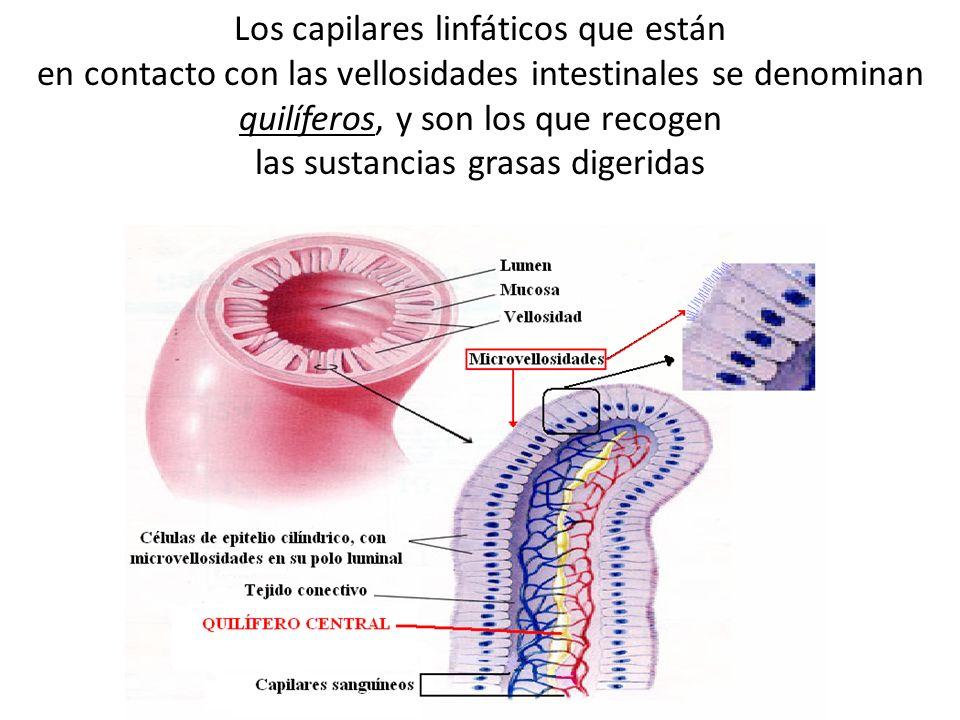 Los capilares linfáticos que están en contacto con las vellosidades intestinales se denominan quilíferos, y son los que recogen las sustancias grasas