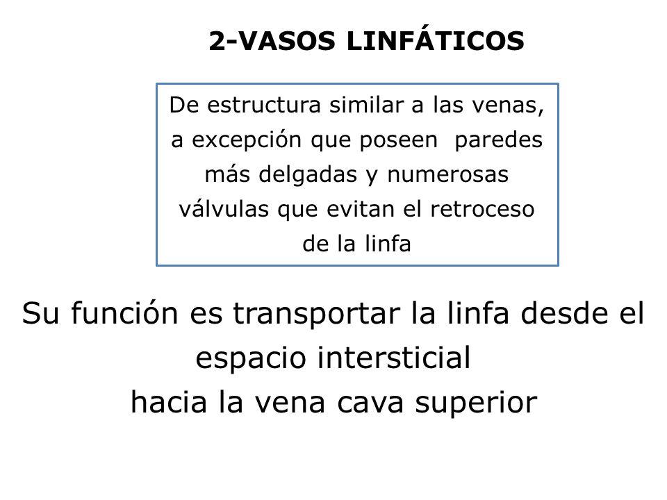 Su función es transportar la linfa desde el espacio intersticial hacia la vena cava superior De estructura similar a las venas, a excepción que poseen