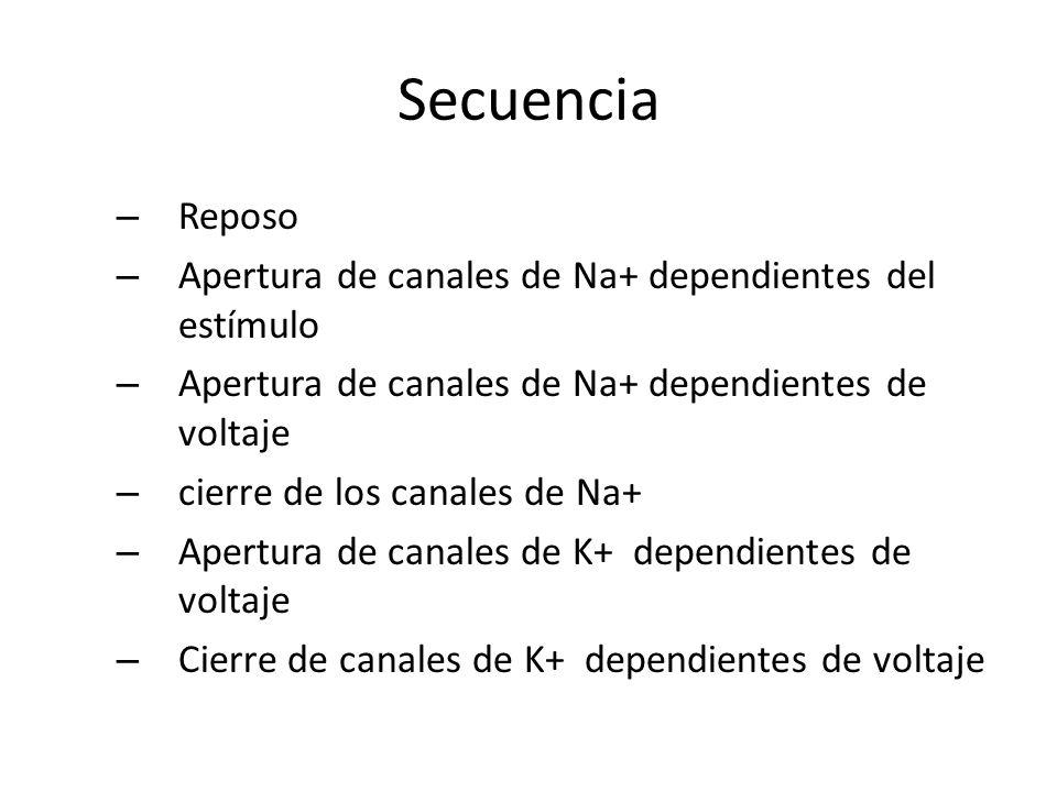 Secuencia – Reposo – Apertura de canales de Na+ dependientes del estímulo – Apertura de canales de Na+ dependientes de voltaje – cierre de los canales