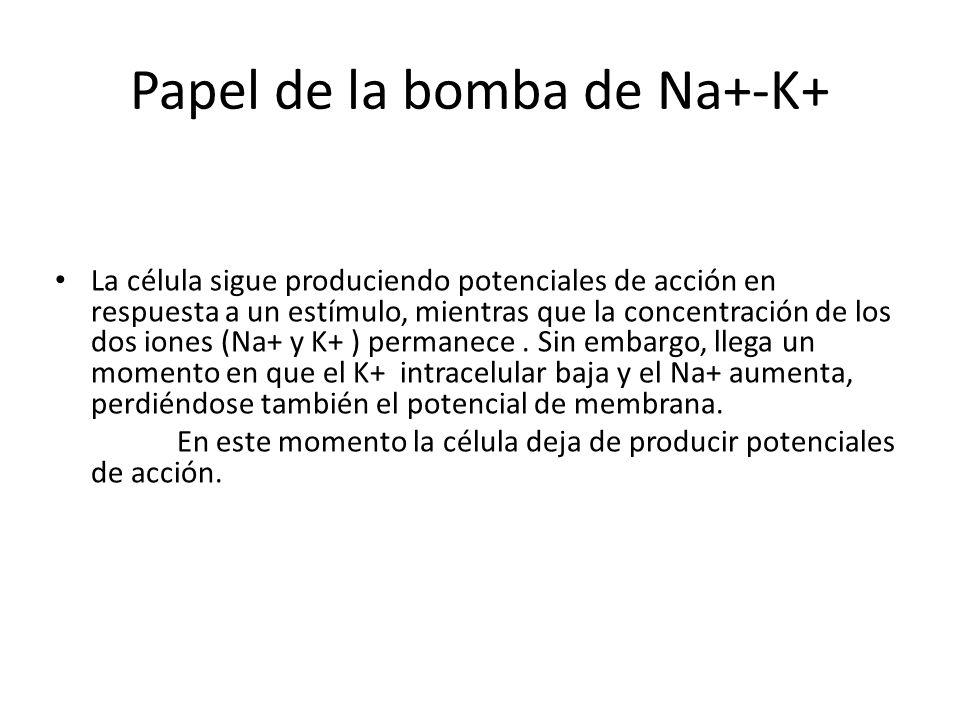Papel de la bomba de Na+-K+ La célula sigue produciendo potenciales de acción en respuesta a un estímulo, mientras que la concentración de los dos ion