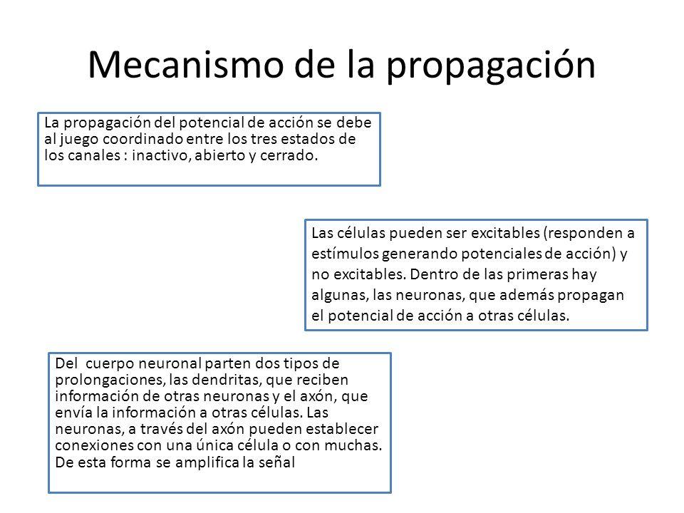 Mecanismo de la propagación La propagación del potencial de acción se debe al juego coordinado entre los tres estados de los canales : inactivo, abier