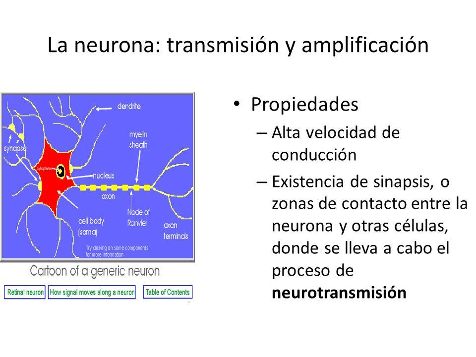 La neurona: transmisión y amplificación Propiedades – Alta velocidad de conducción – Existencia de sinapsis, o zonas de contacto entre la neurona y ot
