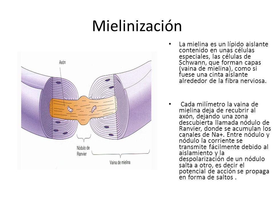 Mielinización La mielina es un lípido aislante contenido en unas células especiales, las células de Schwann, que forman capas (vaina de mielina), como