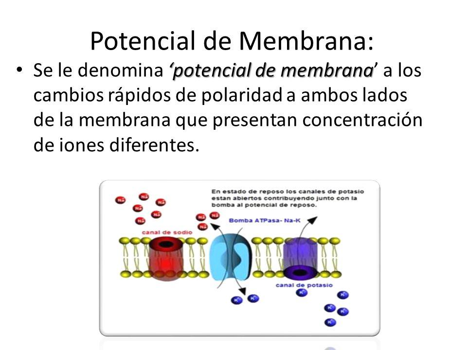 Potencial de Membrana: potencial de membrana Se le denomina potencial de membrana a los cambios rápidos de polaridad a ambos lados de la membrana que