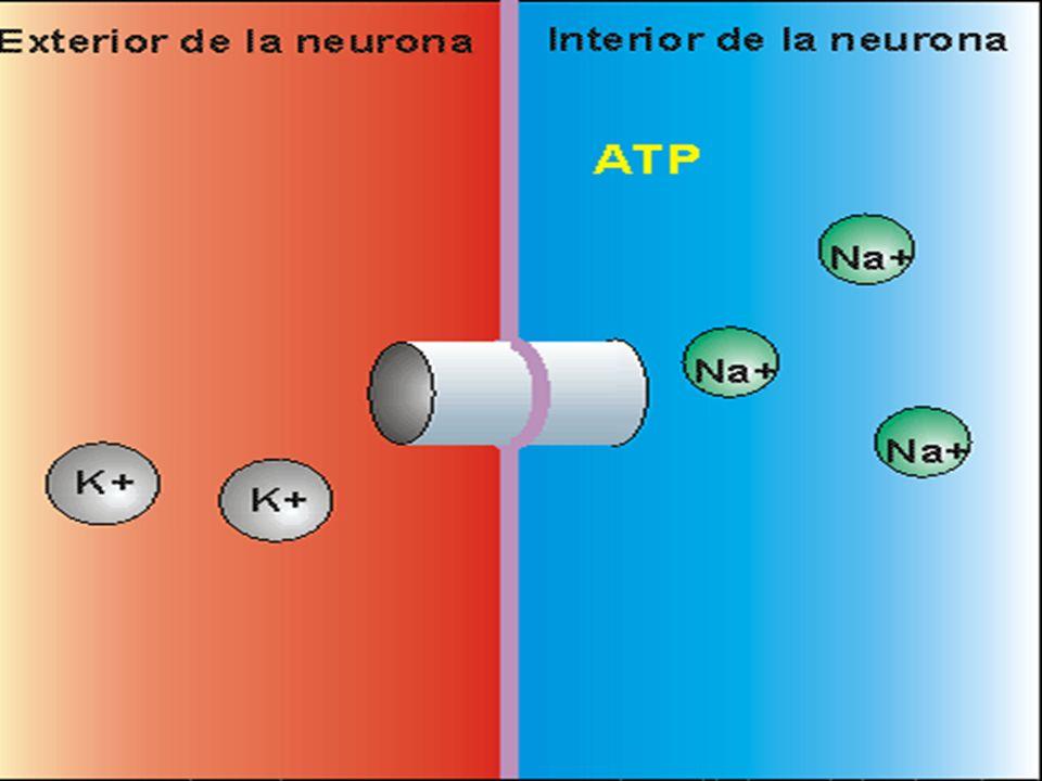 Conducción La velocidad de conducción depende de distintos factores: resistencia de la membrana, capacitancia de la membrana, resistencia interna.