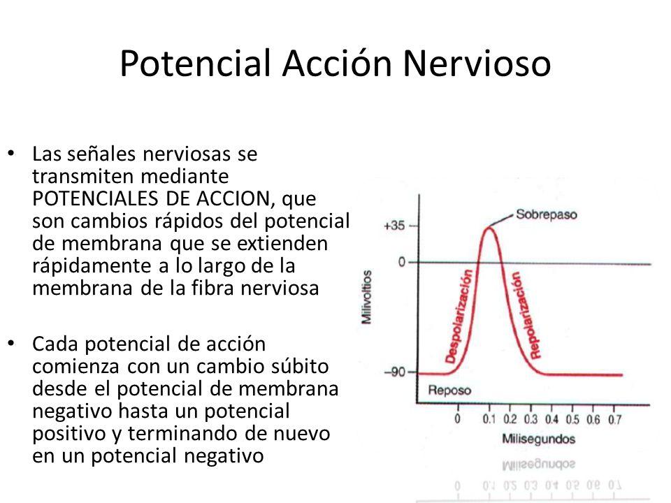 Fases: Reposo: Reposo: Este es el potencial de membrana en reposo antes del comienzo del potencial de acción, se dice que la membrana esta polarizada debido al potencial negativo que se encuentra en ella Despolarización : Despolarización : En este momento la membrana se hace muy permeable al sodio, lo que permite que en numero muy grande de iones con carga + difunda atraves del axón, el estado polarizado se neutraliza… En este momento la membrana se hace muy permeable al sodio, lo que permite que en numero muy grande de iones con carga + difunda atraves del axón, el estado polarizado se neutraliza… Repolarizacion: Repolarizacion: En un plazo de 10milesimas de segundo después de que la membrana se hizo permeable, los canales de sodio empiezan a cerrarse y los canales de potasio se abren mas de lo normal, restableciendo otra ves un estado de reposo negativo normal.
