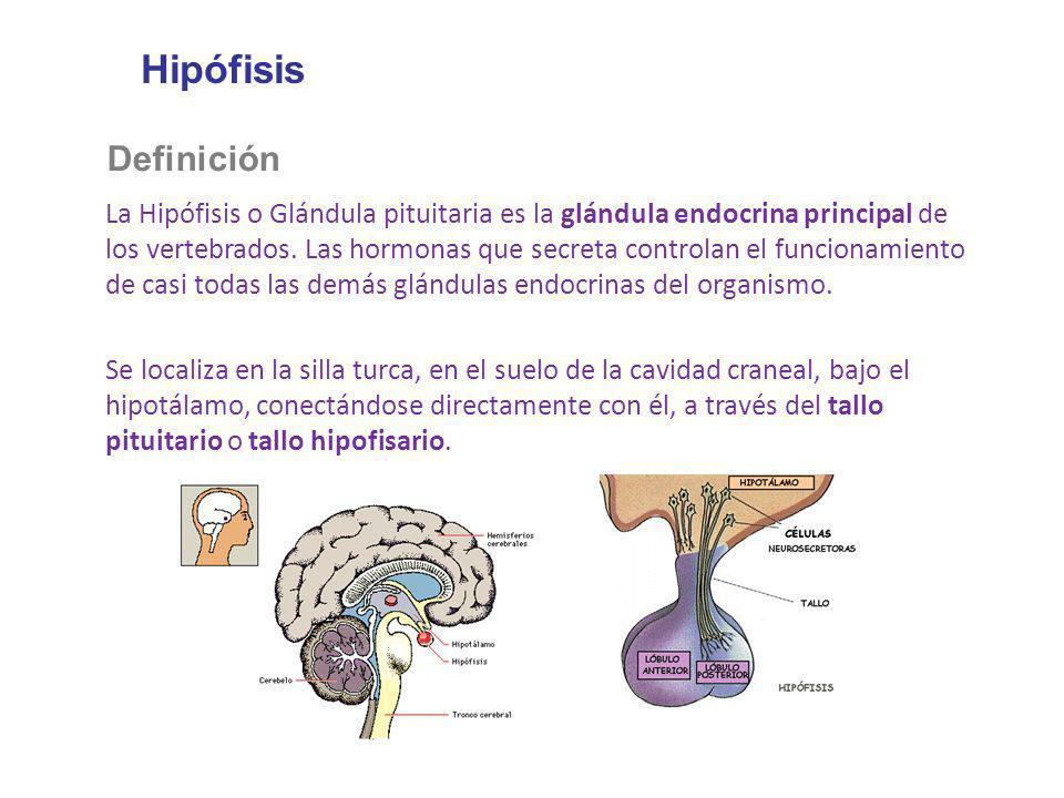 Hipófisis Definición La Hipófisis o Glándula pituitaria es la glándula endocrina principal de los vertebrados. Las hormonas que secreta controlan el f