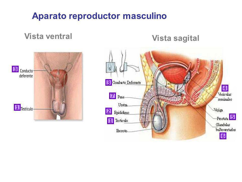 Vista ventral Vista sagital 1 2 3 4 5 6 7 1 3 Aparato reproductor masculino