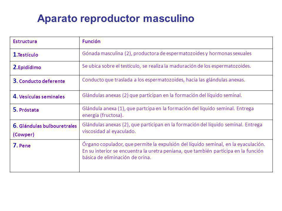 EstructuraFunción 1.Testículo Gónada masculina (2), productora de espermatozoides y hormonas sexuales 2.Epidídimo Se ubica sobre el testículo, se real