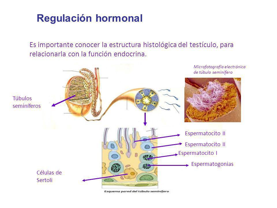 Regulación hormonal Es importante conocer la estructura histológica del testículo, para relacionarla con la función endocrina. Túbulos seminíferos Mic