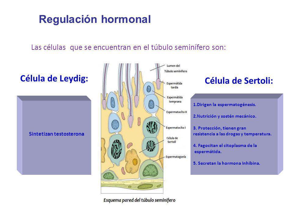 Regulación hormonal Las células que se encuentran en el túbulo seminífero son: Célula de Leydig: Célula de Sertoli: Sintetizan testosterona 1.Dirigen