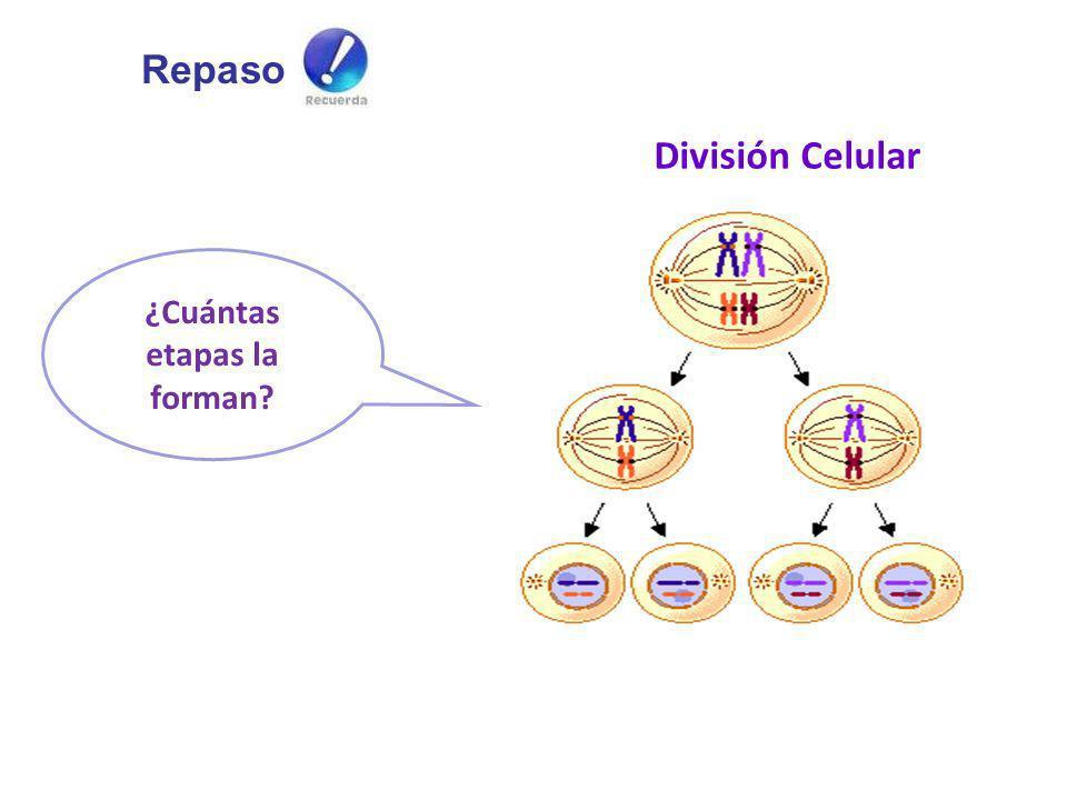 ¿Cuántas etapas la forman? División Celular Repaso