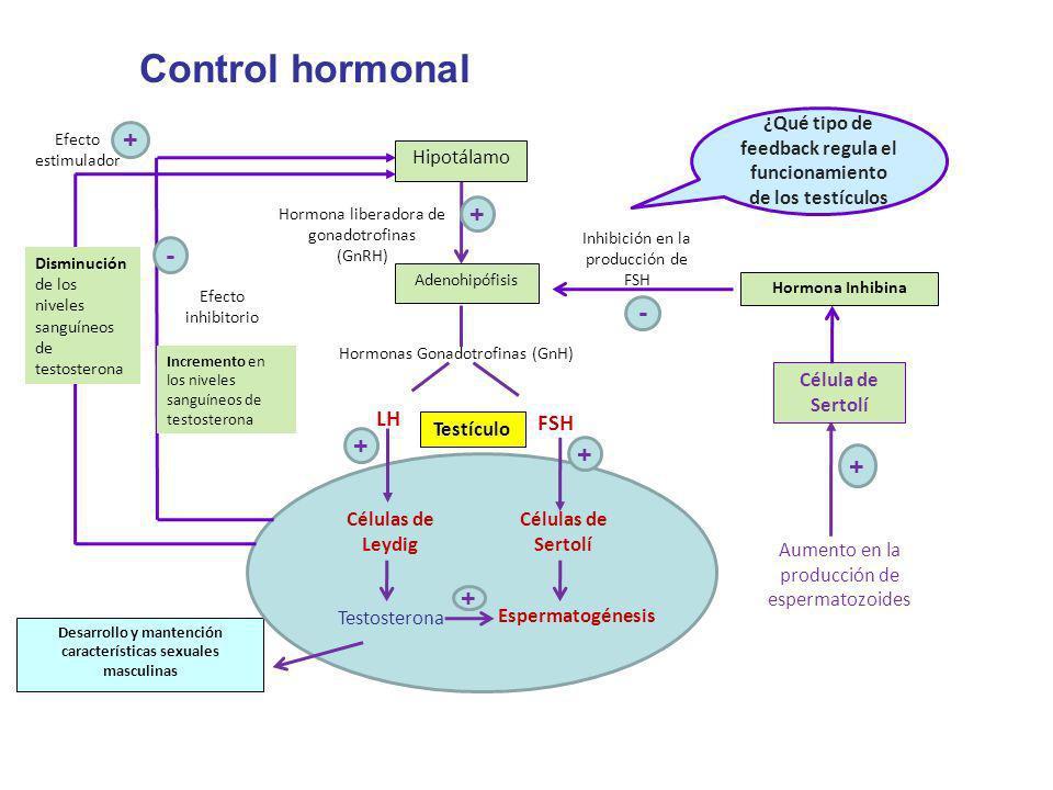 Hipotálamo Hormona liberadora de gonadotrofinas (GnRH) Adenohipófisis Hormonas Gonadotrofinas (GnH) LH FSH Testículo Hormona Inhibina Desarrollo y man