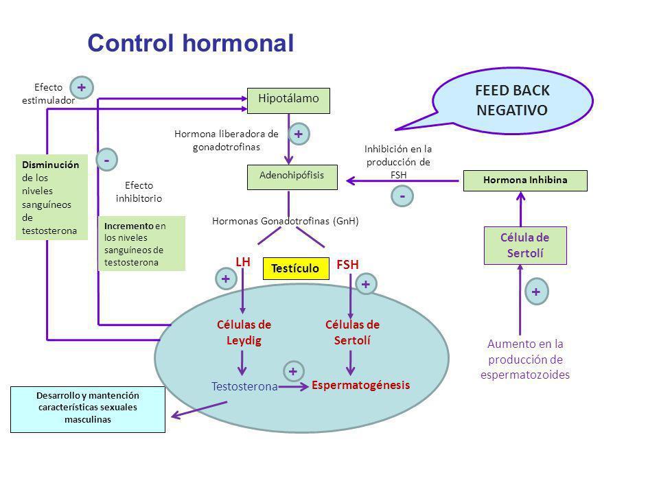 Hipotálamo Hormona liberadora de gonadotrofinas Adenohipófisis Hormonas Gonadotrofinas (GnH) LH FSH Testículo Hormona Inhibina Desarrollo y mantención