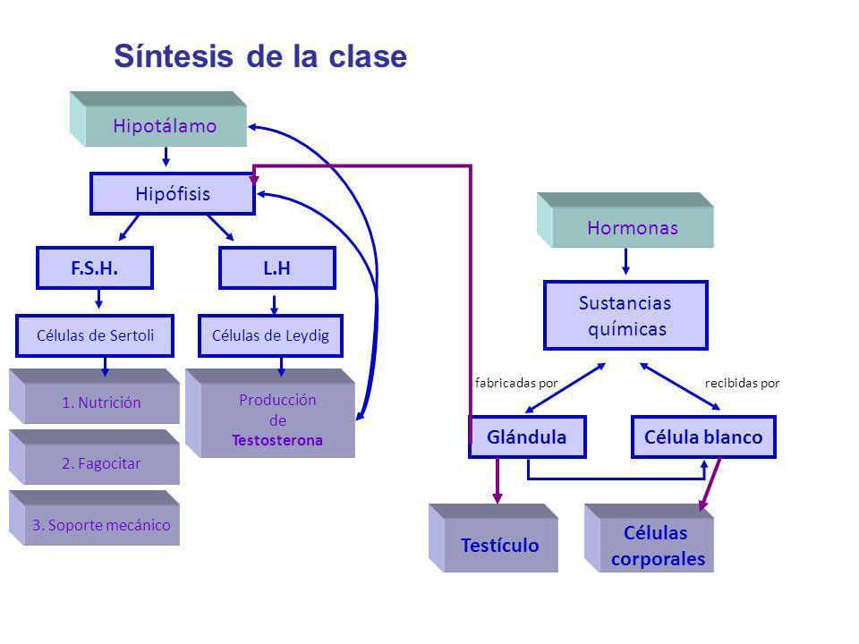 Síntesis de la clase Hipotálamo F.S.H. Hipófisis L.H Células de LeydigCélulas de Sertoli 1. Nutrición 2. Fagocitar 3. Soporte mecánico Producción de T