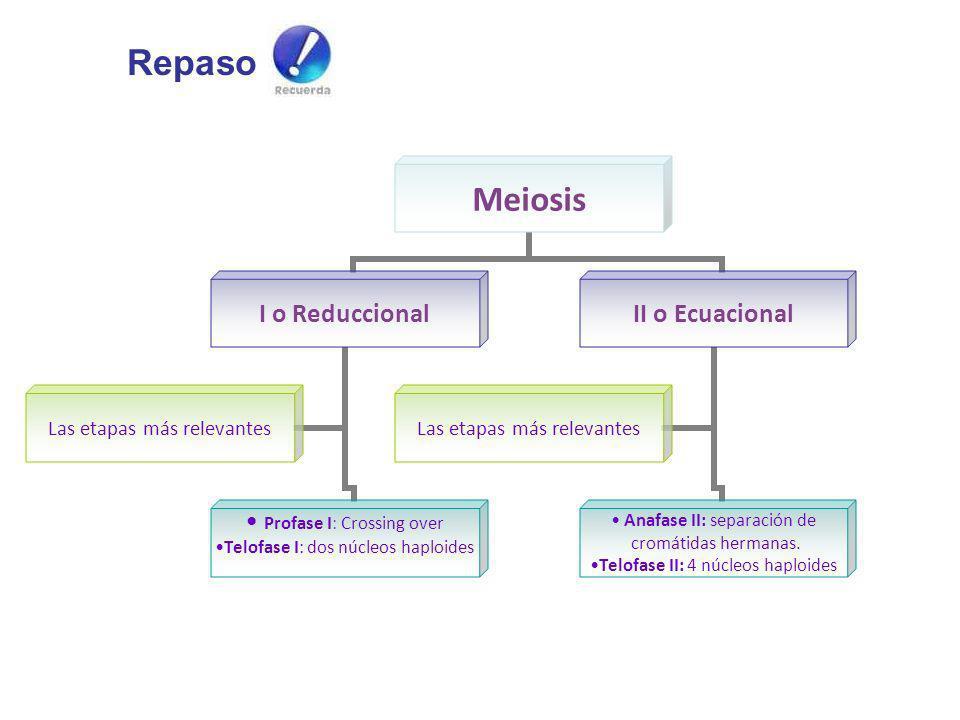 Meiosis I o Reduccional Profase I: Crossing over Telofase I: dos núcleos haploides Las etapas más relevantes II o Ecuacional Anafase II: separación de
