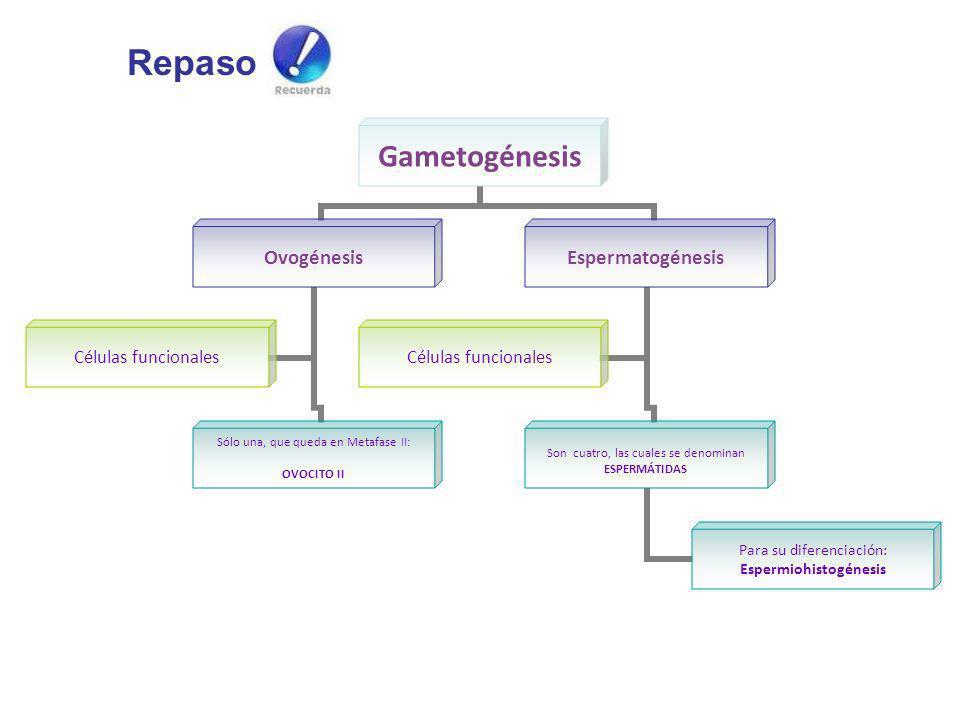 Repaso Gametogénesis Ovogénesis Sólo una, que queda en Metafase II: OVOCITO II Células funcionales Espermatogénesis Son cuatro, las cuales se denomina