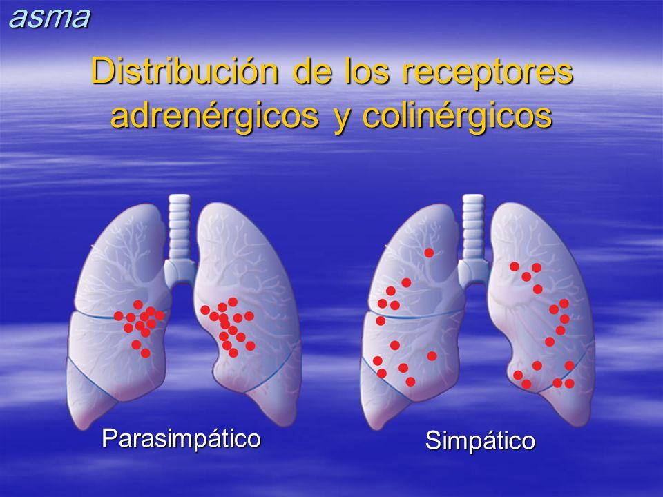 Parasimpático Simpático Distribución de los receptores adrenérgicos y colinérgicos asma
