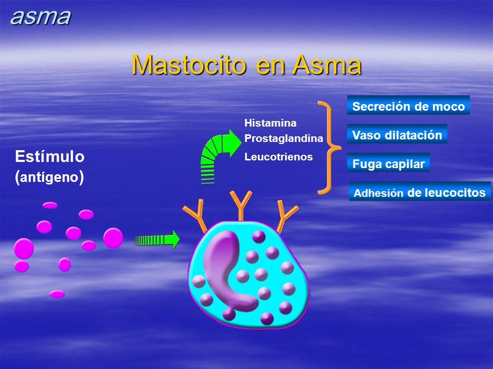 Mastocito en Asma Secreción de moco Vaso dilatación Fuga capilar Adhesión de leucocitos Histamina Prostaglandina Leucotrienos Estímulo ( antígeno )asm