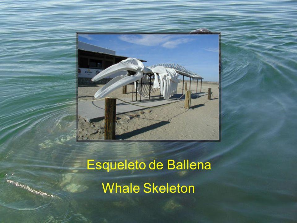 Esqueleto de Ballena Whale Skeleton
