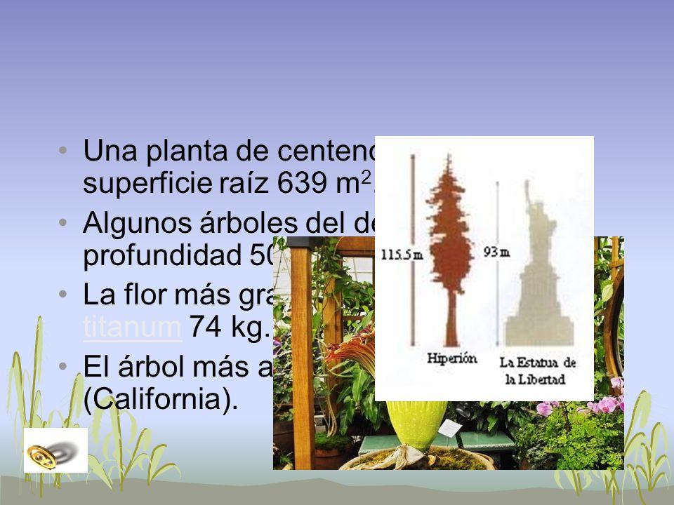 Una planta de centeno de 4 años: superficie raíz 639 m 2. Algunos árboles del desierto: raíz profundidad 50 m. La flor más grande: Amorphophallus tita