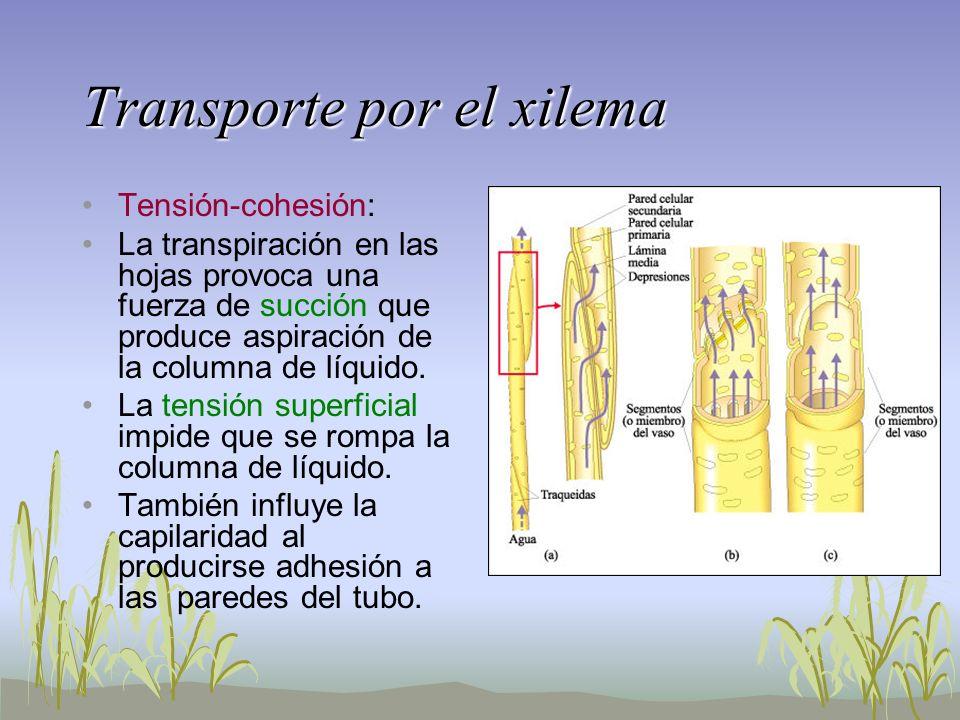 Transporte por el xilema Tensión-cohesión: La transpiración en las hojas provoca una fuerza de succión que produce aspiración de la columna de líquido