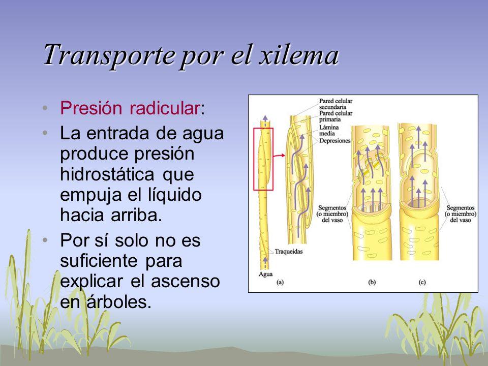 Transporte por el xilema Presión radicular: La entrada de agua produce presión hidrostática que empuja el líquido hacia arriba. Por sí solo no es sufi