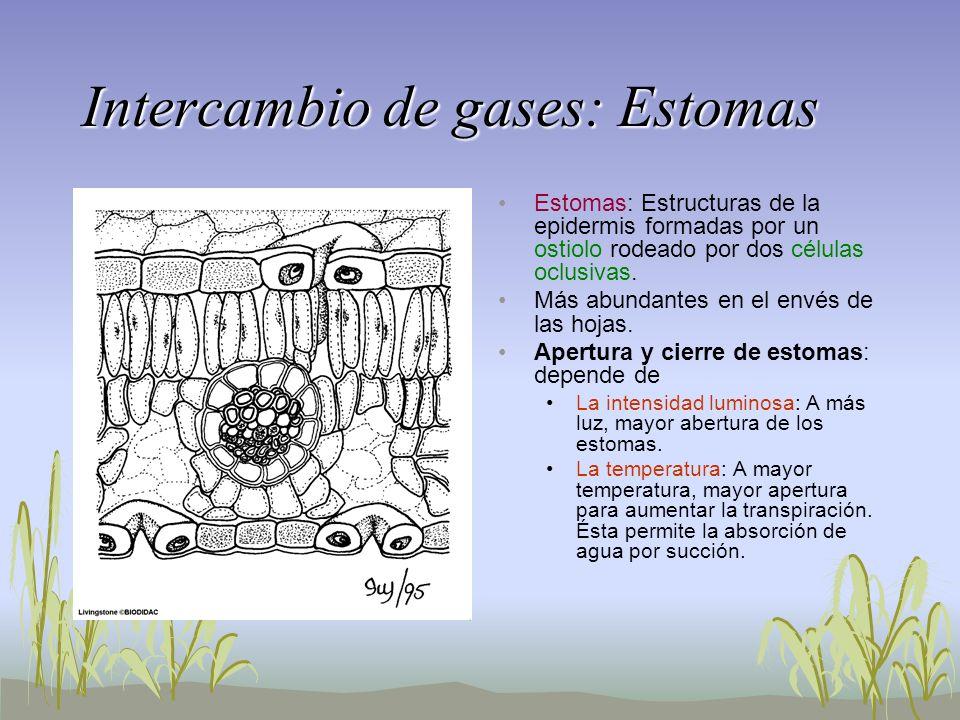 Intercambio de gases: Estomas Estomas: Estructuras de la epidermis formadas por un ostiolo rodeado por dos células oclusivas. Más abundantes en el env