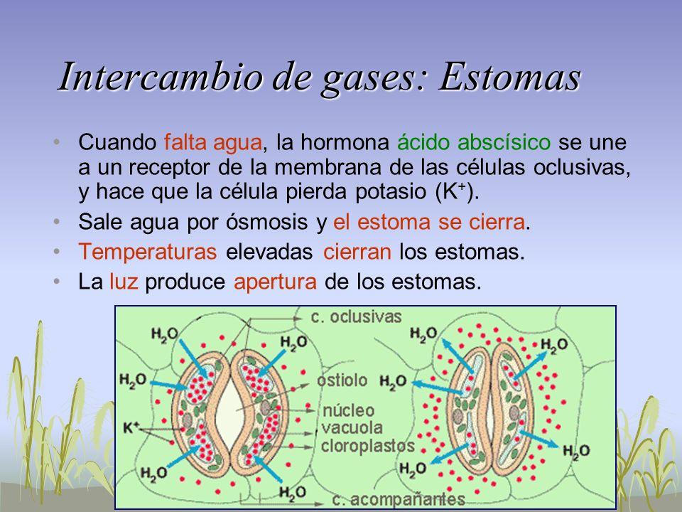 Intercambio de gases: Estomas Cuando falta agua, la hormona ácido abscísico se une a un receptor de la membrana de las células oclusivas, y hace que l